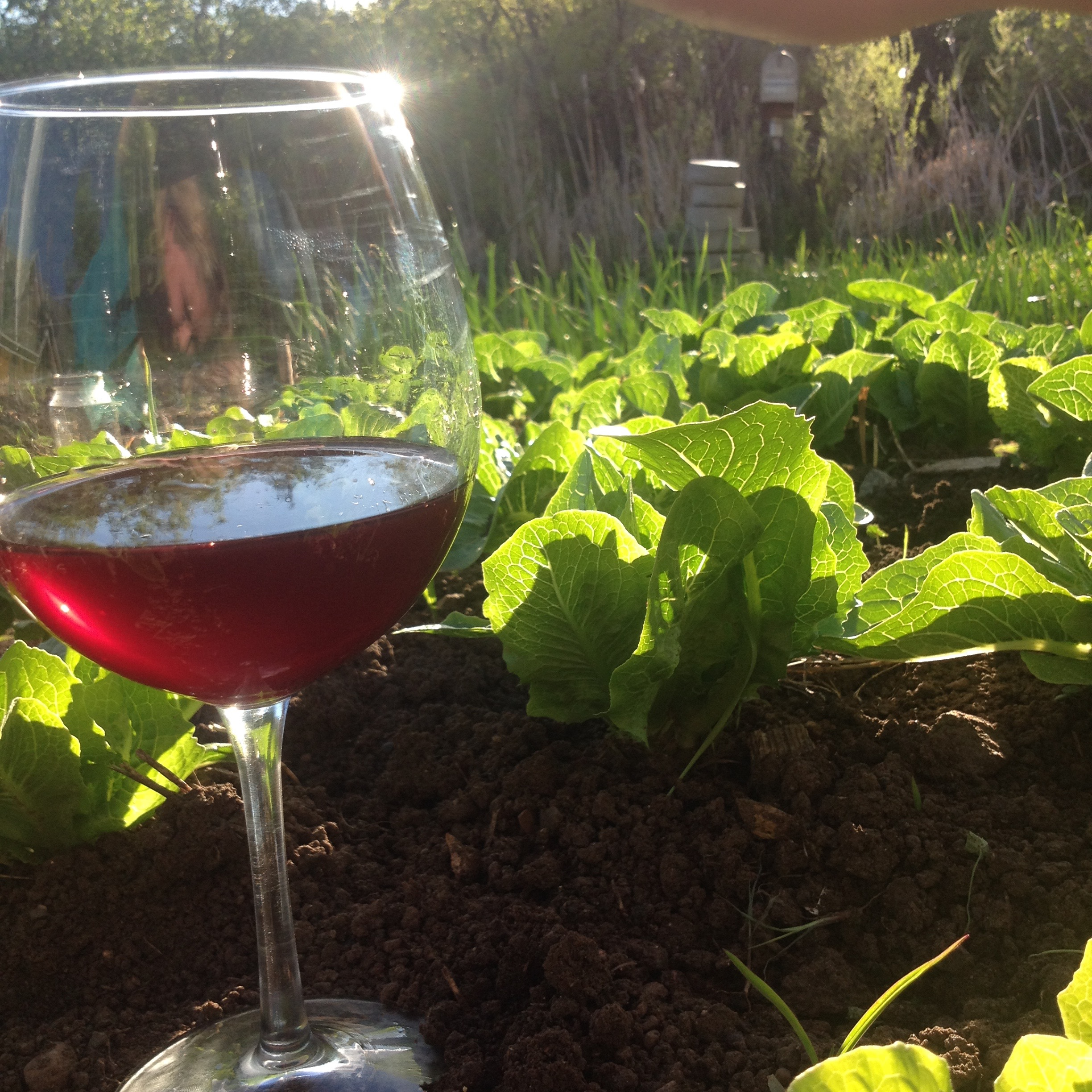 Red Wine glass with in the garden with lettuce Paonia, Colorado